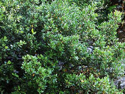 Aladierno arbustivo (Rhamnus alaternus)