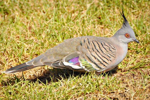 crested pigeon sydney