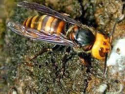 lebah paling mematikan didunia
