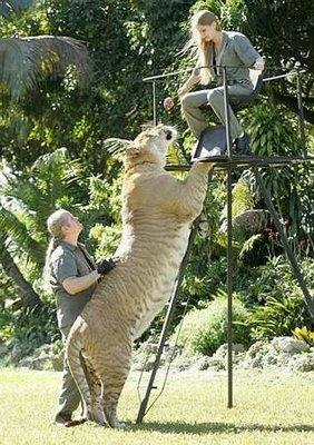 Gambar Harimau Terbesar di Dunia