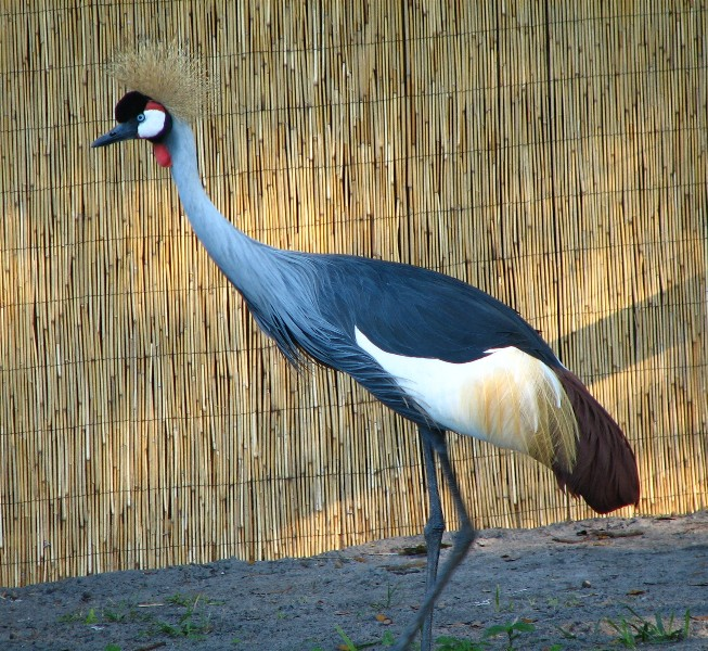 African crowned crane - photo#5