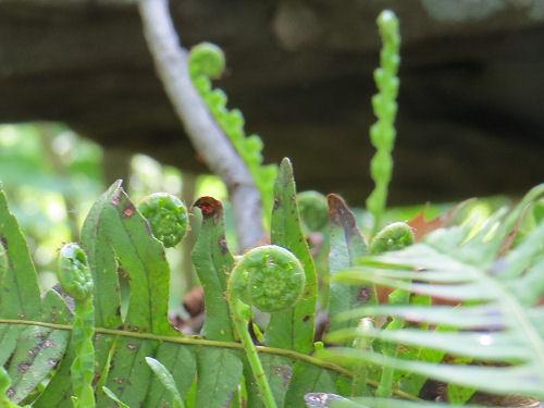chain fern
