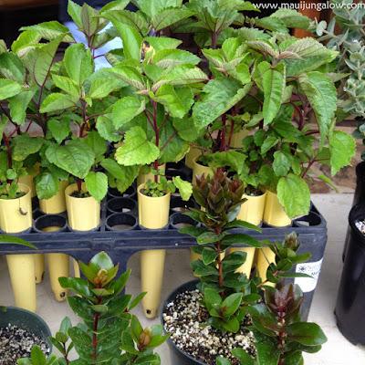 Hawaiian mamaki tea plants by Maui Native Nursery