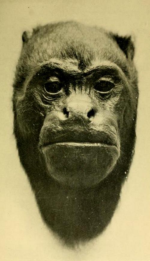 Black Howling Monkey, Muzzle Slightly Foreshortened