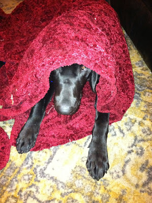 Foley lying down, peaking out from under a red blanket