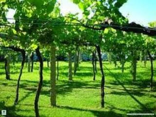 Budidaya Tanaman Anggur