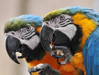 alimentación del loro de acuerdo a su especie