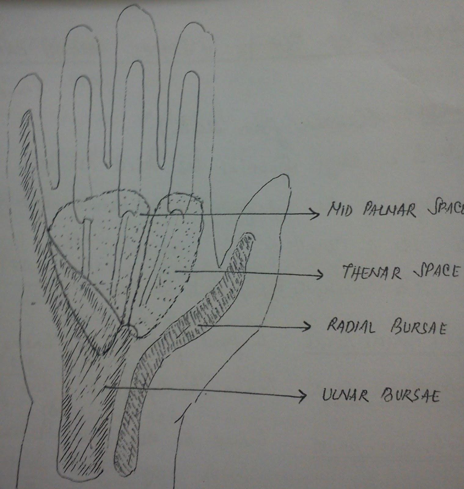 ANATOMY OF BURSAE AND SPACES IN HAND | bijopaul
