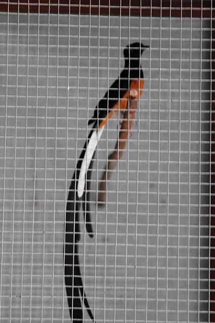 Image Result For Cara Mengatasi Kaki Burung Kram