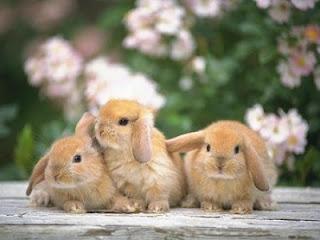 Reproducción del conejo doméstico