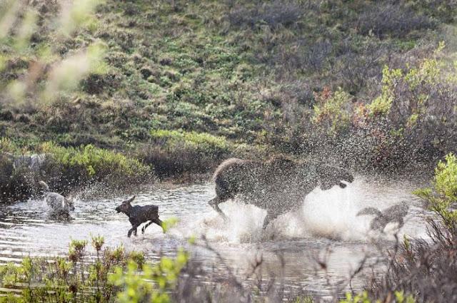 Madre alce lucha contra lobos para defender a su cría