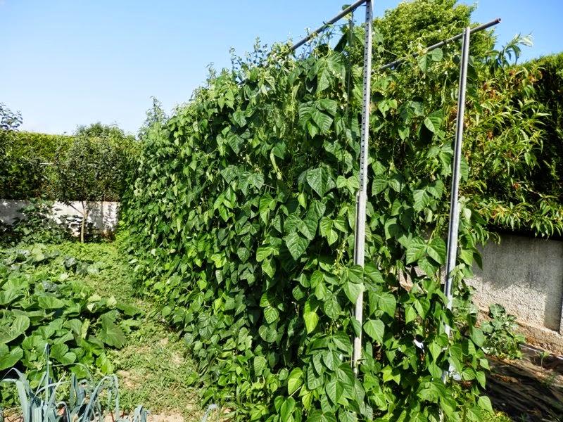 El sexagenario jud as verdes conservar y congelar - Como preparar las judias verdes ...