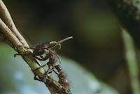 Blog Safari club, video del hongo alien Cordyceps