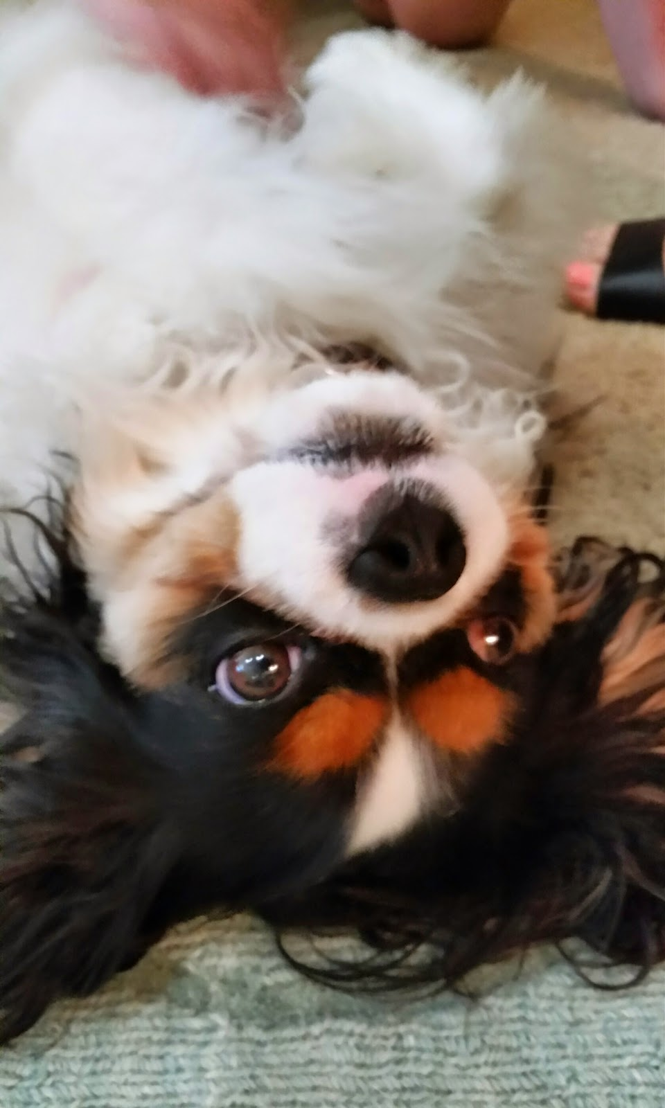 Belly Rubs Cavalier King Charles Spaniel