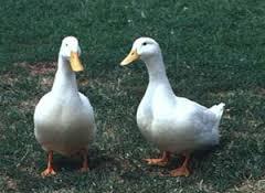 soñar con patos