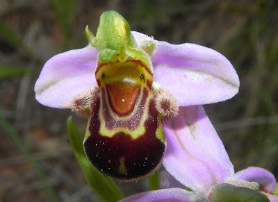 Ophrys apifera  orquídea abeja