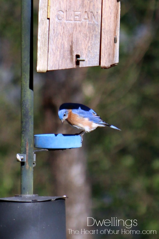 bluebirds in the back yard