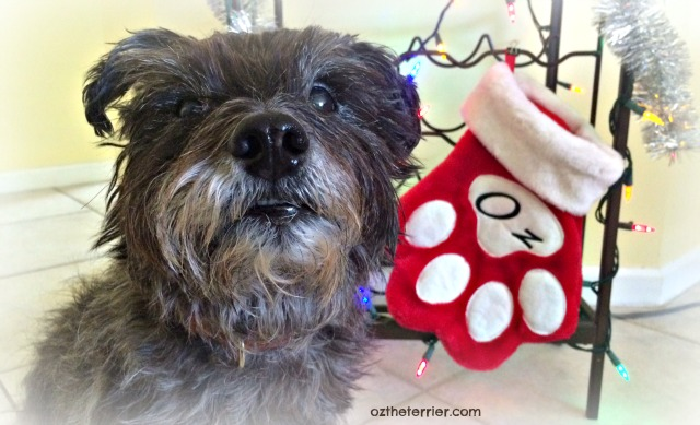 Oz the Terrier with his stocking, decorating for Christmas