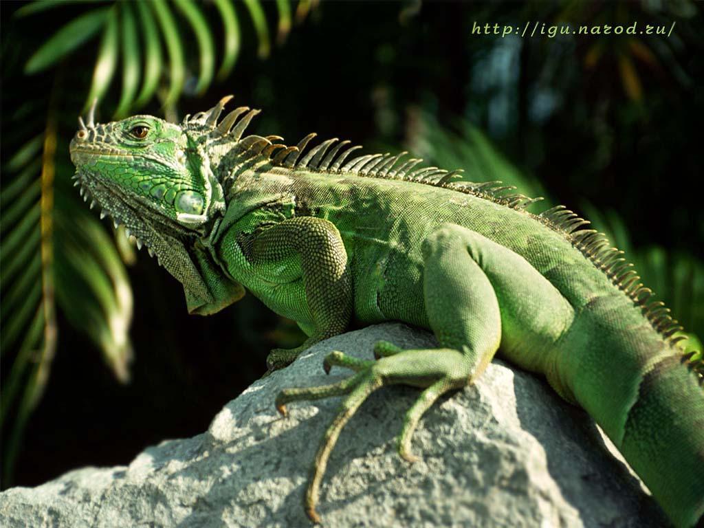 14++ Hewan iguana terbaru