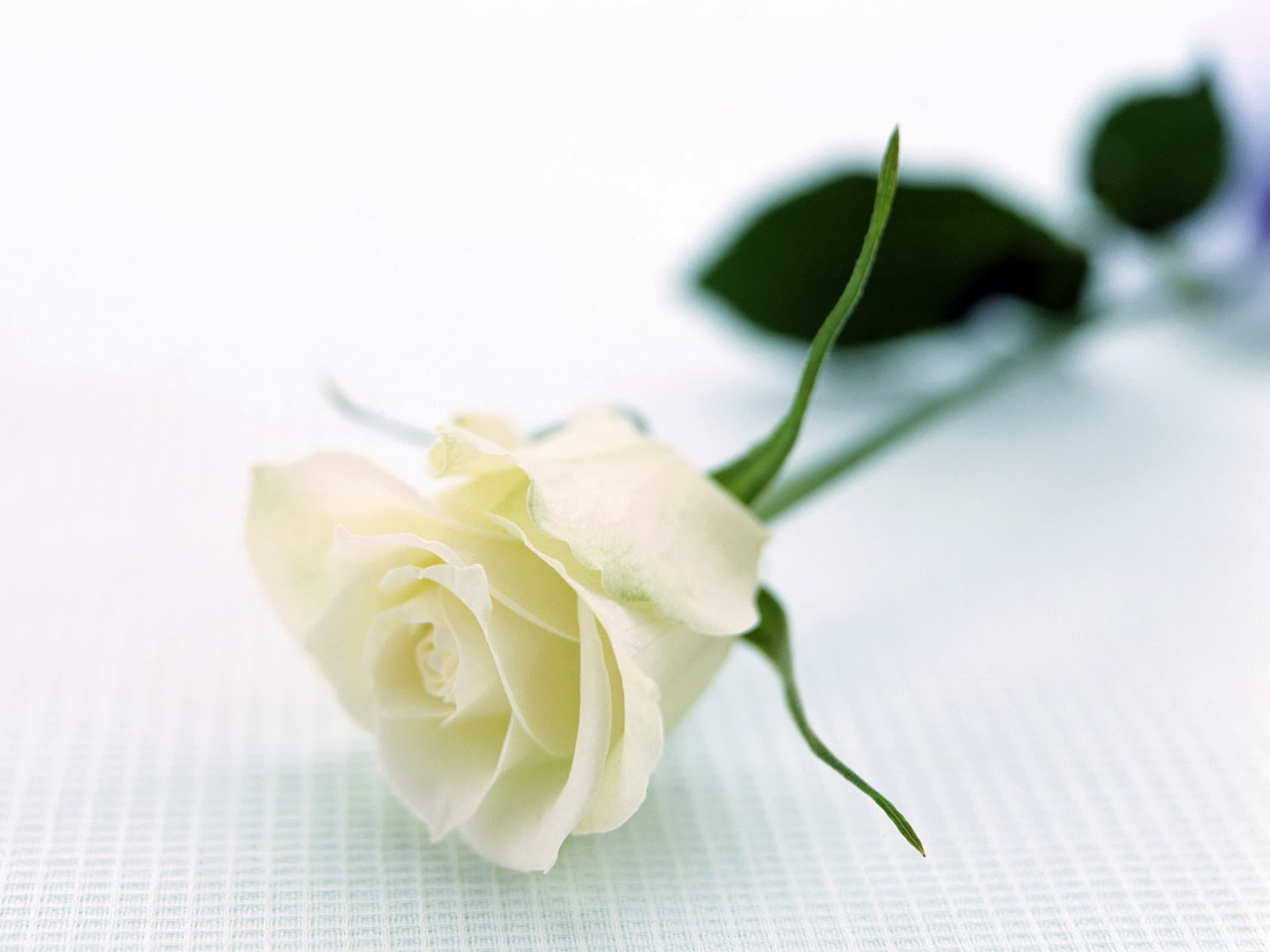 The Privy Prairie White Rose For Mother
