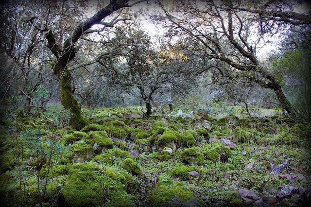 Bosque cubierto de musgo en Campillo de Deleitosa