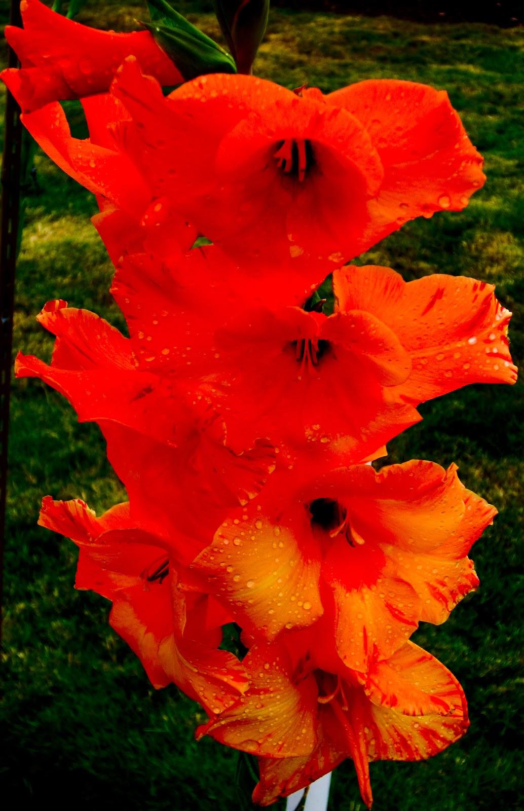 Thom Zehrfeld graphy Gladiolus Flower Gardens