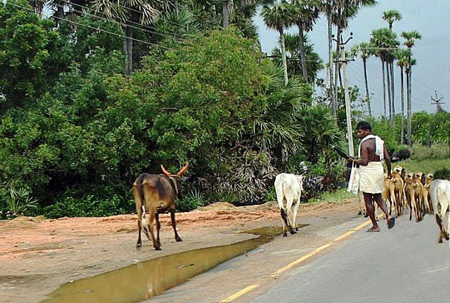 tamil cowherd