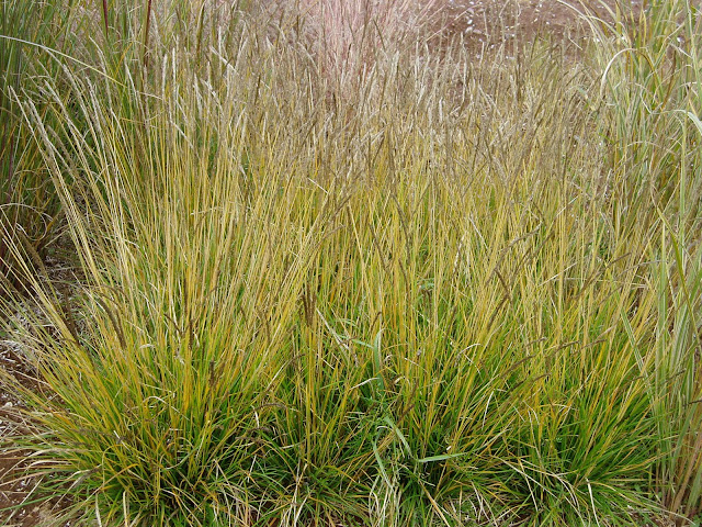 Lovegrass farm seslaria autumnalis ornamental grass at for Full sun ornamental grass