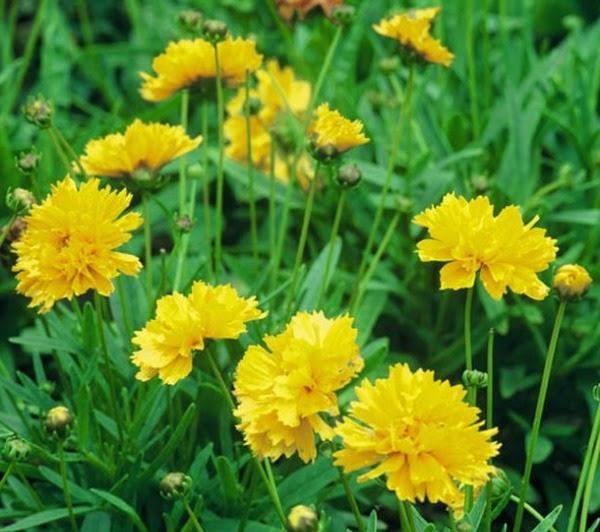 15 plantas con flores u hojas amarillas guia de jardin - Plantas de jardin nombres ...