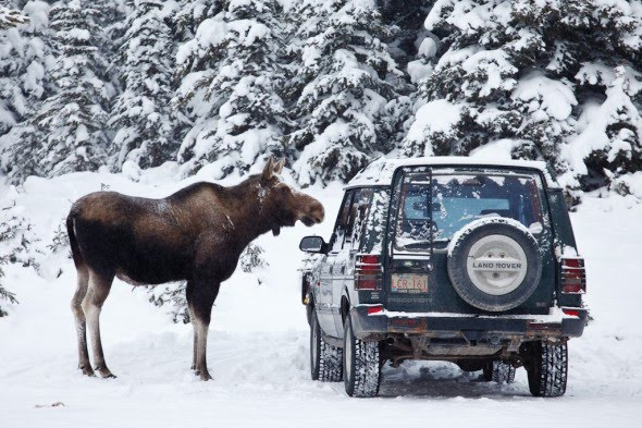Elk vs moose tracks
