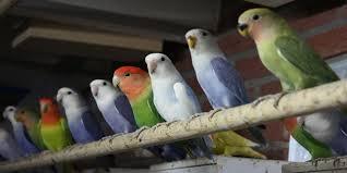 Macam Jenis Makanan Lovebird Yang Berkualitas Cari Uang