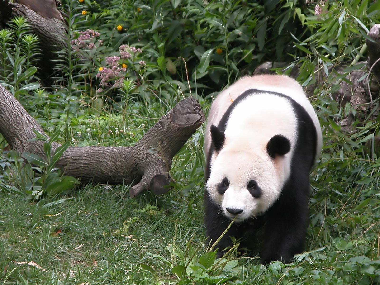 Giant Panda Animal Facts And Pictures   All Wildlife Photographs