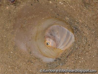 Bladder Moon Snail (Glossaulax didyma)