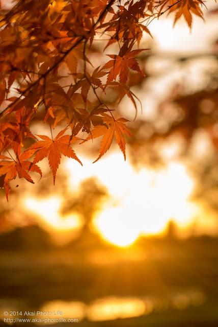 夕焼けを背景を紅葉を写した写真