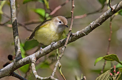 brown-capped vireo, costa rica birds