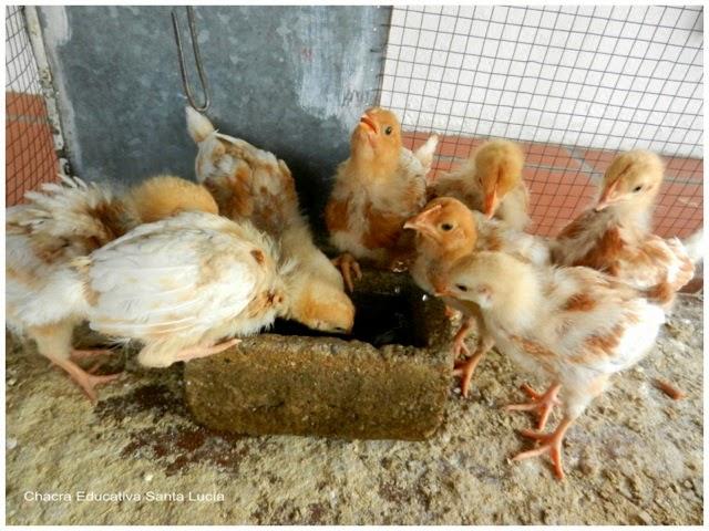 Pollos tomando agua - Chacra Educativa Santa Lucía