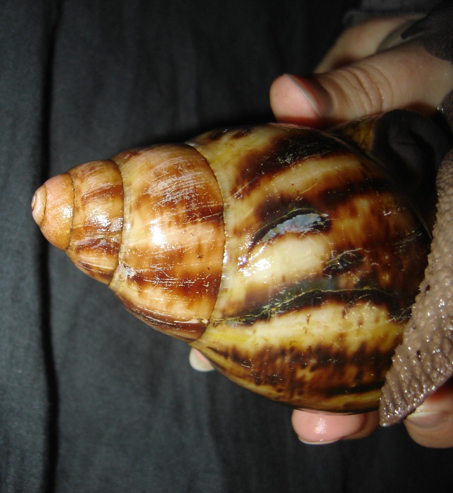 coquille escargot geant