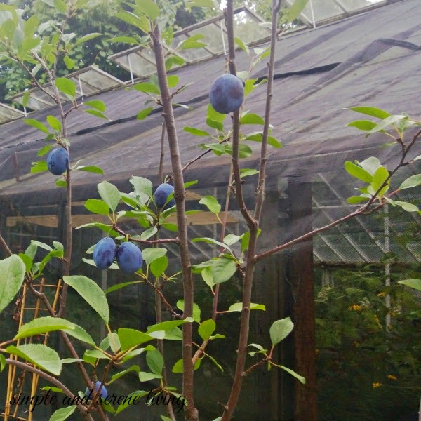 historic greenhouse plums
