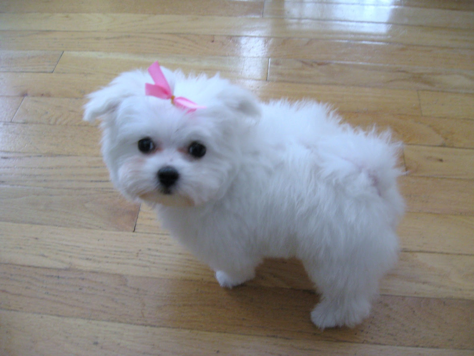 Such Good Dogs: Breed of the Month--Maltese