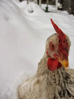 Black and white chicken in the snow