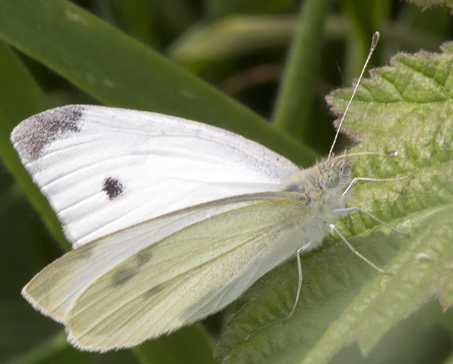 Small White, Pieris rapae.  Sandwich Bay, 3 June 2015.