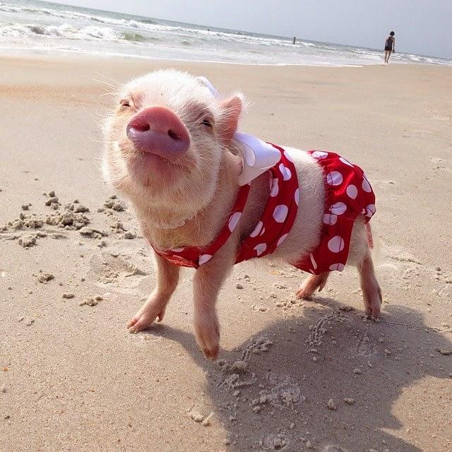 priscilla mini pig