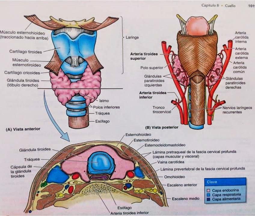 Atractivo Glándulas Anatomía Del Cuello Regalo - Anatomía de Las ...