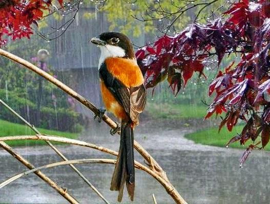 Perawatan Burung Cendet pada Musim Hujan
