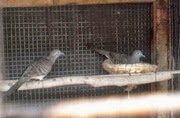 Jual Indukan Burung Perkutut Bangkok, dan Siapan, Bergaransi