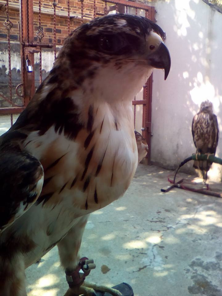 Jual Beli Hewan Peliharaan Jual Rush Bellied Eagle
