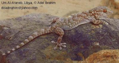 salamanquesa comun Tarentola mauritanica