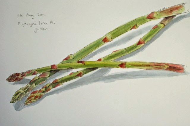 asparagus, pencil and watercolour sketch