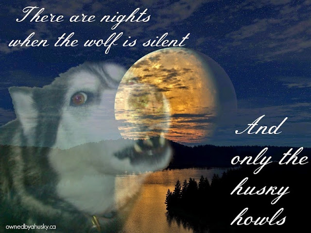 Siberian Husky howling at the moon