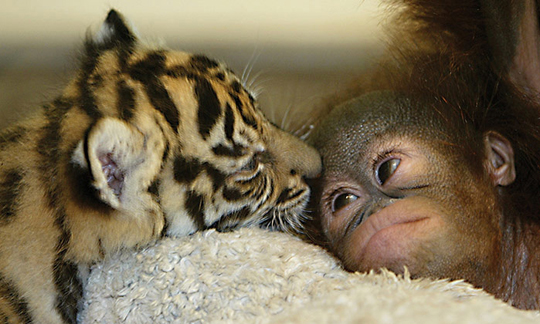 4++orangutan+and+tiger+-babies - Lasting friendships start early - Inspiration & Hope